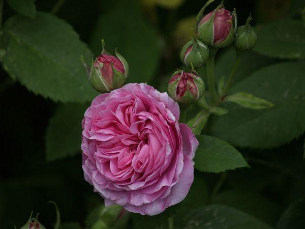 Rosa Bourbonica-Louise Odier-2020-06-08- 6088818.jpg