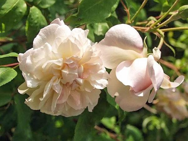 Desprez a fleur jaune filtered-3-g.jpg