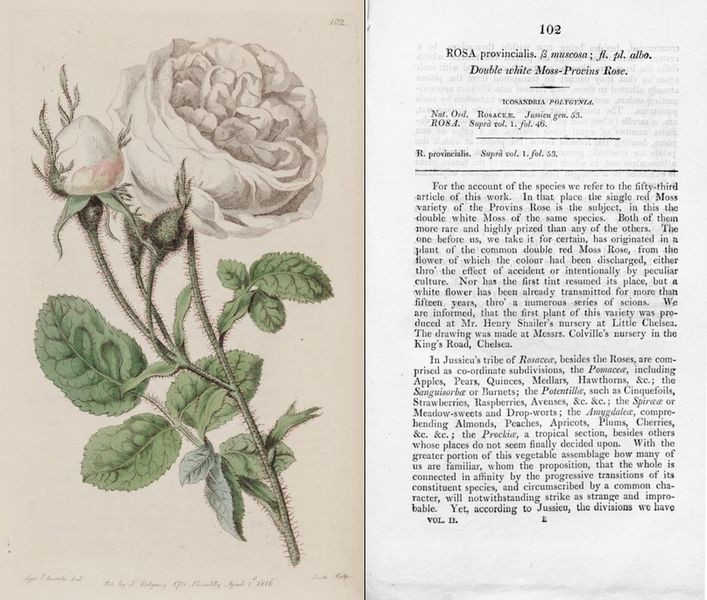 Double white Moss-Provins Rose + Text.jpg