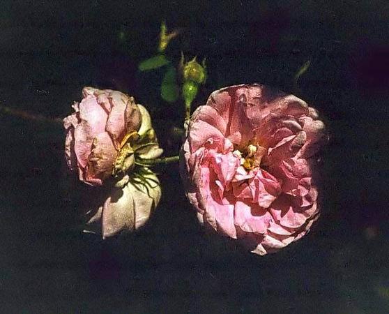 Coralie filtered-3-g.jpg