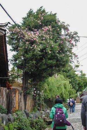 Lijiang Rd climber-w.jpg