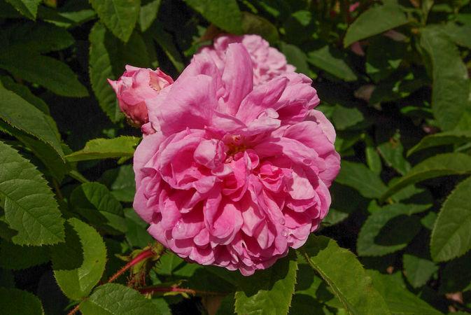 Gloire d 39 orient rose biblio for Rosier princesse d orient