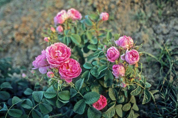 Edward Rose 3-w.jpg