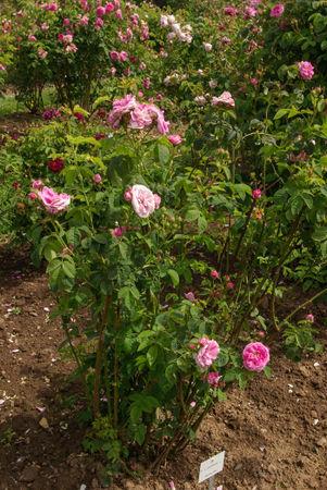 R. x centifolia L. SGH (1)-1-w.jpg
