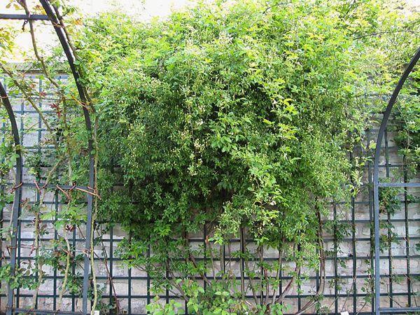 R.banksiae alboplena, Stéphane Barth, L'Hay 5-w.jpg