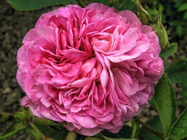 Bouquet de Vénus, E. Bouret, L'Hay-w.jpg