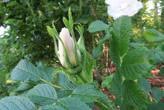 Blanc Double de Coubert, Ostergaard 1.PNG