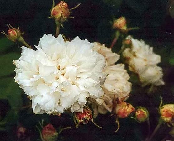 Rosa unica alba filtered-3-g.jpg