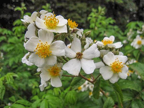 R.moschata floribunda, Stéphane Barth, L'Hay 1-w.jpg