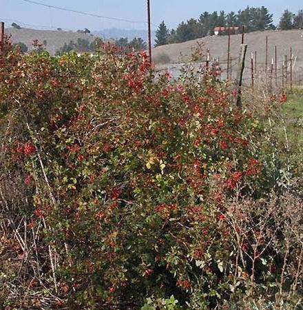 R. californica, Cassandra Bernstein 8-w.jpg