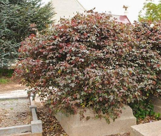 Devoniensis, Pat Toolan, Carlsruhe Cemetery, Austr., 2-w.jpg