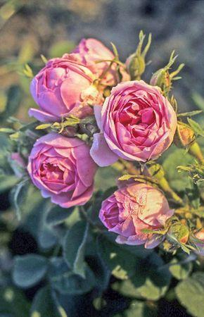Edward Rose 9-w.jpg