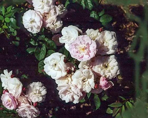 Belle vichyssoise filtered-3-g.jpg