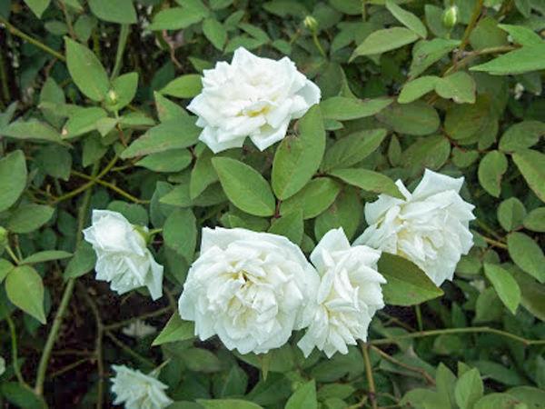 Davy Barr Prosperity bloom cluster 10-06-11-w.jpg