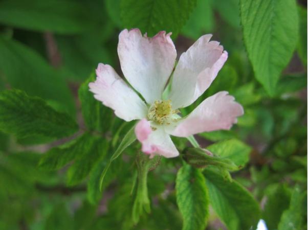 Adiantifolia 1.PNG
