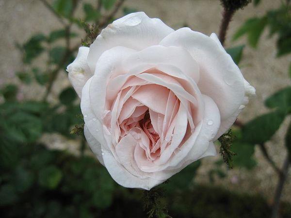 Shailer's White Moss, Stéphane Barth, L'Hay 1.jpg