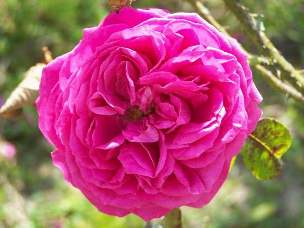 Rosa gallica 'Wallonic', Raymond Loubert-w.jpg