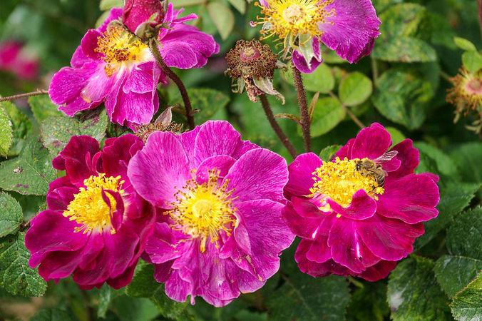 Rosa gallica Violacea, Niederlande vor 1795, Gall.-2-SGH-w.jpg