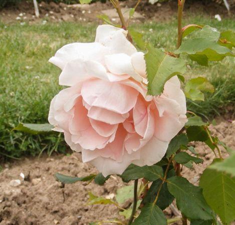 Andenken an Alma de l'Aigle, Moje Roze 1-w.jpg