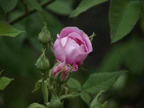 Rosa bourbonica-Reine Victoria-2020-06-04 6048769.JPG