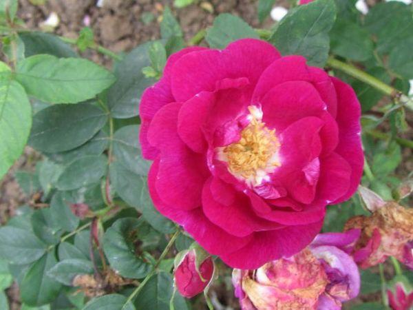Rosa x l'heritieranea, Stéphane Barth, L'Hay 1-w.jpg