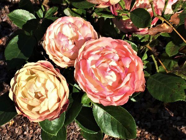 Rosarium 3.jpg