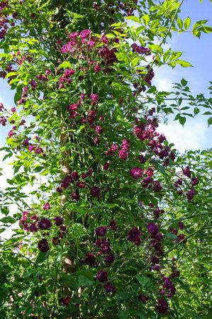 Violetta, Turbat 1921, Mult. H.-1-SGH-1-w.jpg