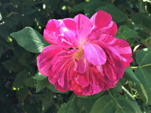 Rosarium 6.jpg