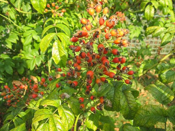 R.moschata floribunda, Stéphane Barth, L'Hay 2-w.jpg