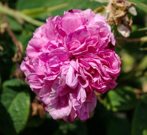 Pink Leda = Rosa Sport v. Leda, England vermutlich-1-SGH-1-w.jpg
