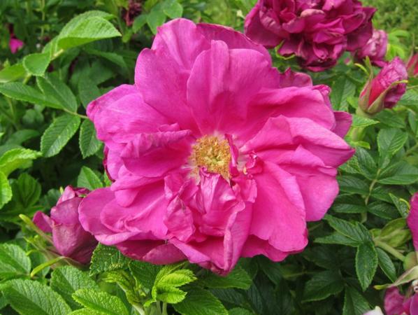 Roseraie de L'Hay, Ostergaard 4.PNG