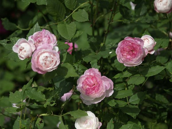 Rosa Bourbonica-Madame Pierre Oger-2019-06-25- 6258334.jpg