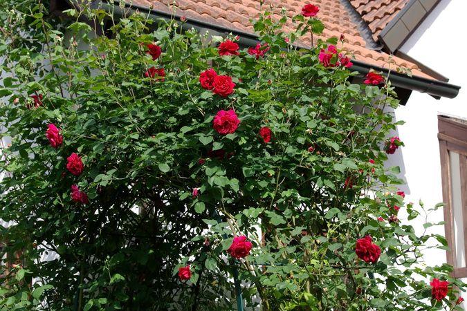 Célèbre Rosenschnitt – Rose-Biblio AE93
