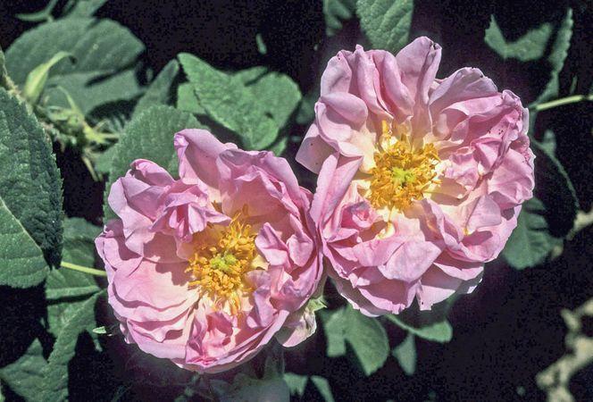 Edward Rose 7-w.jpg
