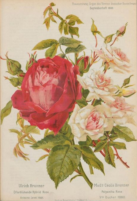 Ulrich brunner 1886 t.jpg