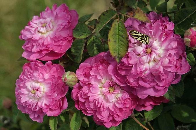 Rosa centifolia pomponia (de meaux) filtered-3-g.jpg