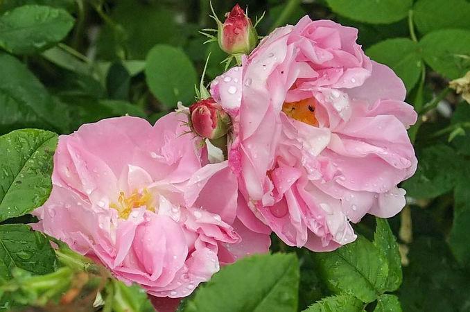 Rosa damascena celsiana m filtered-3-g.jpg