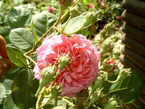 Belle rosine1-ori.jpg