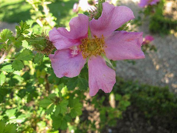 Rosa stellata var. mirifica 3-6-w.jpg