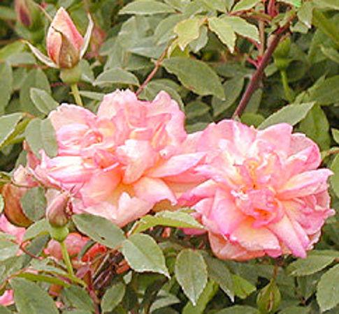 Fortune's Doble, C. Bernstein's garden 5-w.jpg