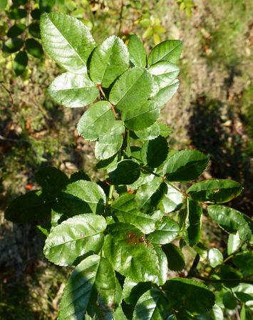 R.multiflora var cathayensis, Andrea Moro, Università di Trieste 4.jpg