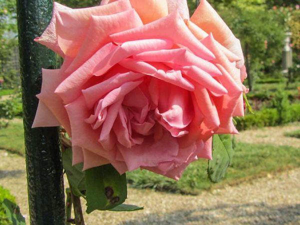 Lyon Rose, Stéphane Barth, L'Hay 3-w.jpg