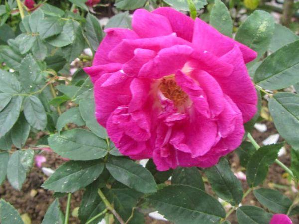 Rosa x l'heritieranea, Stéphane Barth, L'Hay 2-w.jpg