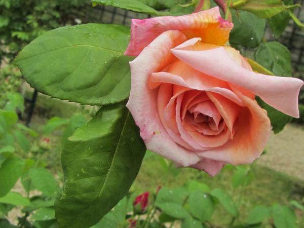 Lyon Rose, Stéphane Barth, L'Hay 4-w.jpg