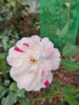 10 Fortune s Five Coloured Rose camera 108.jpg