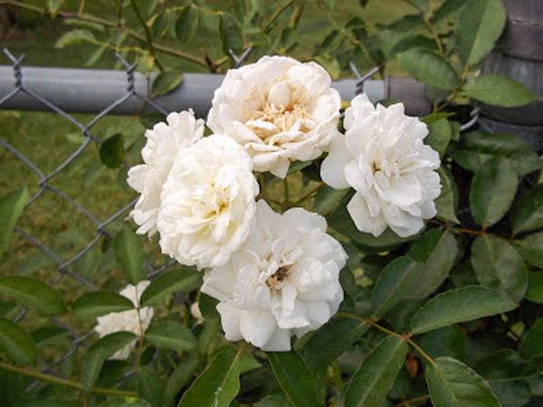 Davy Barr Prosperity bloom cluster 06-09-11-w.jpg