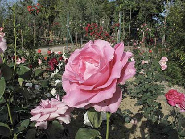 Fineschi roseto-botanico-carla-fineschi-w.jpg