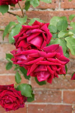 Mottisfont Crimson Glory DSC07815.JPG