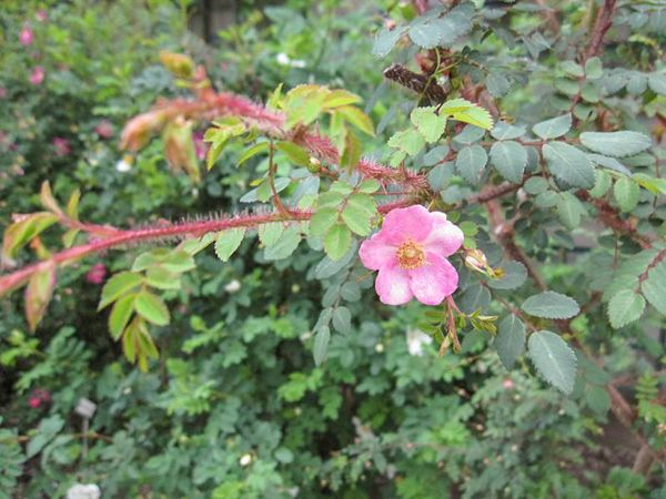 Rosa farreri f. persetosa Stapf, Stéphane Barth, L'Hay 4-w.jpg