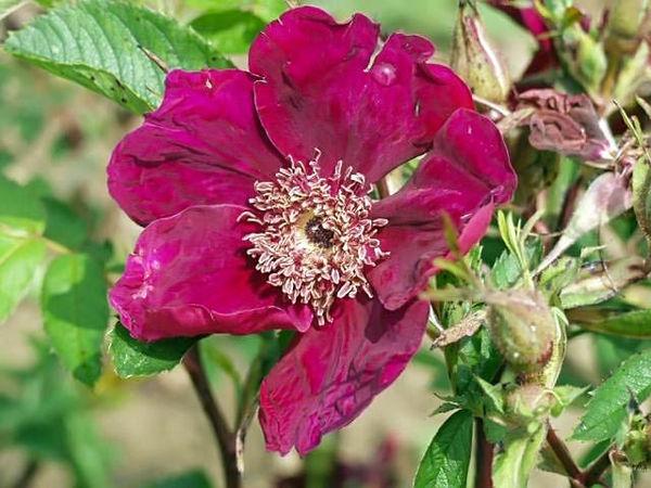 Basye's purple rose filtered-3-g.jpg